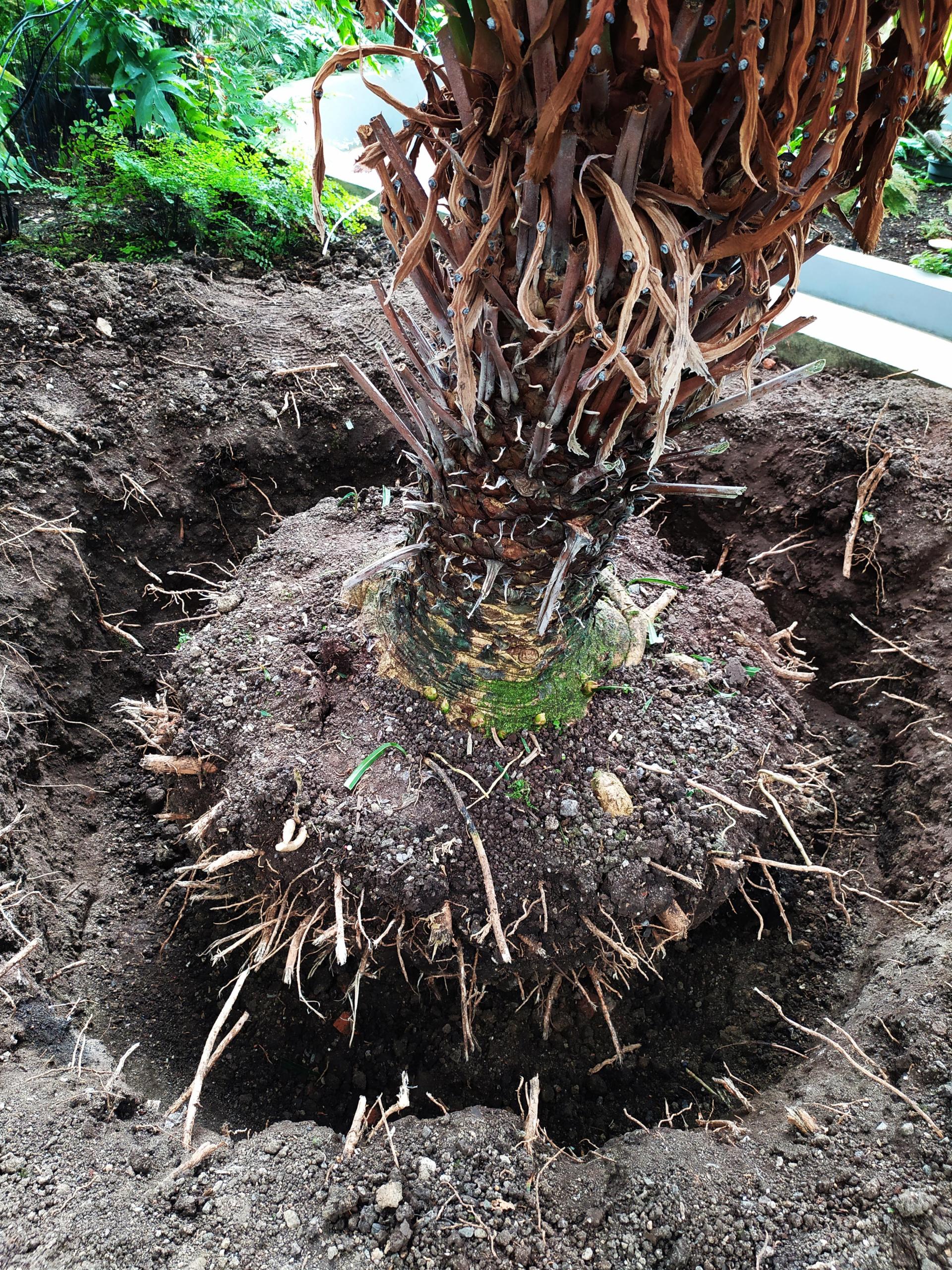 2_Obkopávání kořenového balu ve skleníkách Botanické zahrady Masarykovy univerzity v Brně